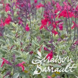 Salvia microphylla desert blaze