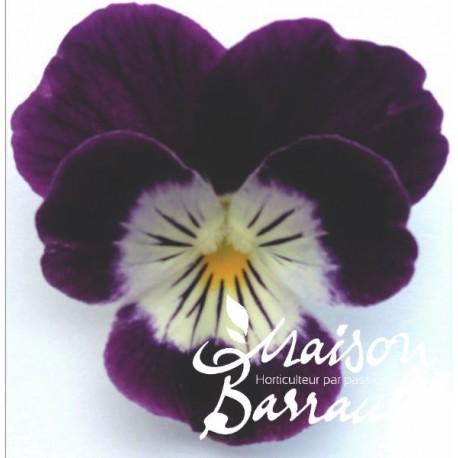 Viola cornuta blanche et violet (Q)