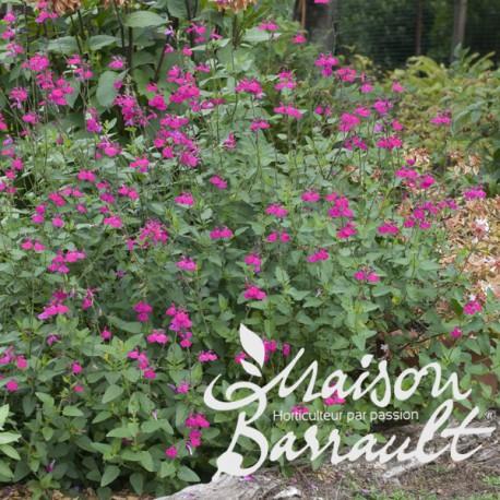 Salvia microphylla trenance