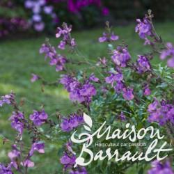 Salvia microphylla violette
