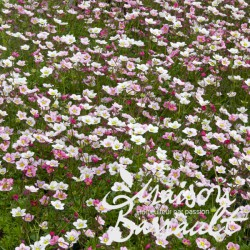 Saxifraga decipiens rose