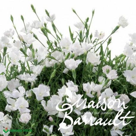 Dianthus Beauties ® olivia gisele