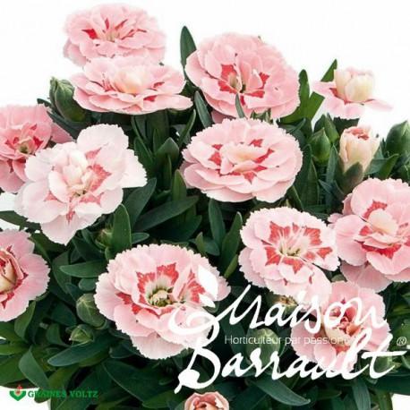 Dianthus oscar ® pink star