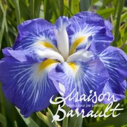 Iris ensata gusto