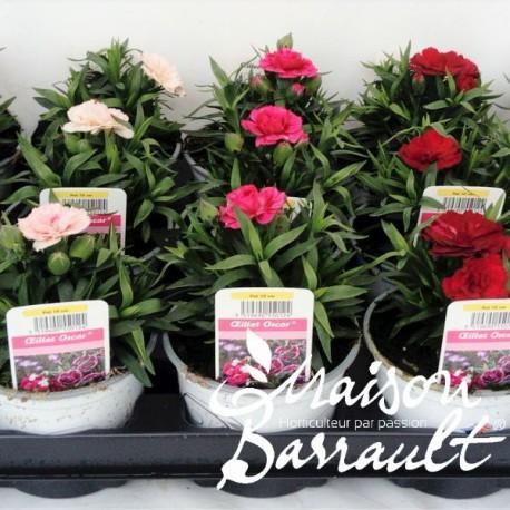 Dianthus oscar ®