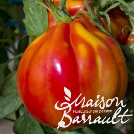 Tomate 'Cuor di Bue' vraie coeur de boeuf