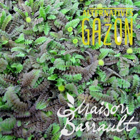 Leptinella squalida platt's black (AG)