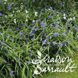 Tradescantia andersoniana bleu clair