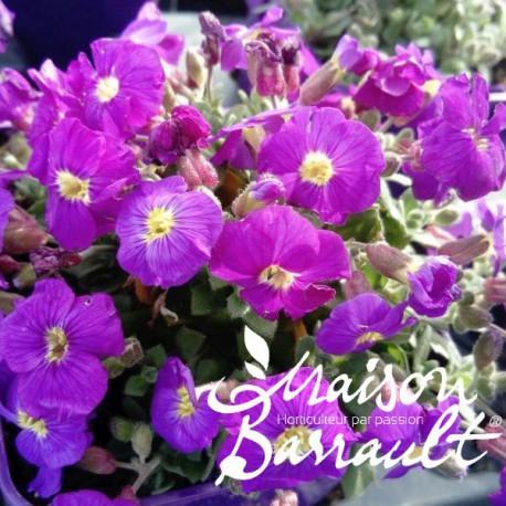 Aubrieta axcent violet with eye