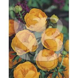 Trollius hybride orange globe