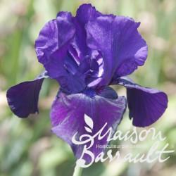 Iris germanica noir velouté