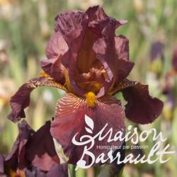 Iris germanica rouge foncé