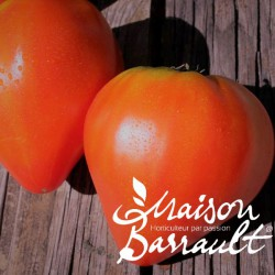 Tomate greffée 'cauralina'