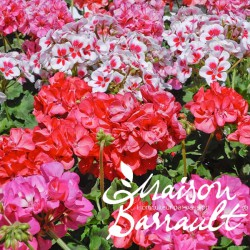 Geranium zonal toscana dolce vita pink eye
