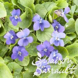 Viola odorata semperflorens