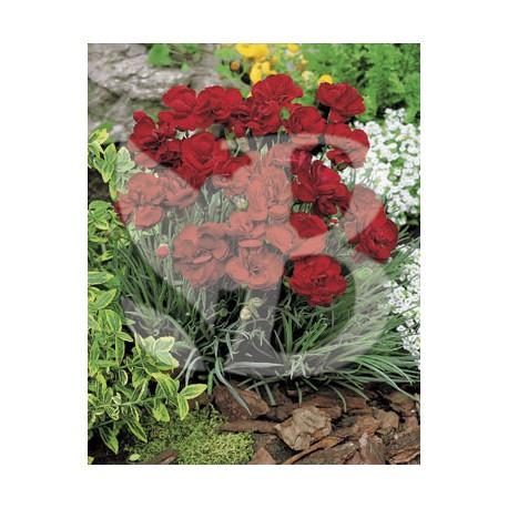 Dianthus plumarius houndspool cheryl