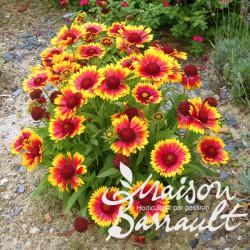 Gaillardia x grandiflora mesa bright bicolour