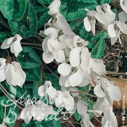 Cyclamen neapolitanum alba