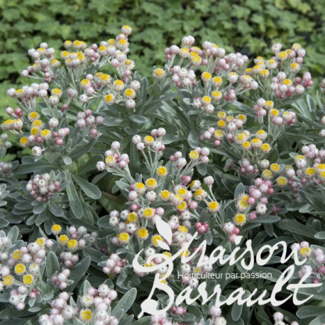 Helichrysum amorginum ruby cluster ®