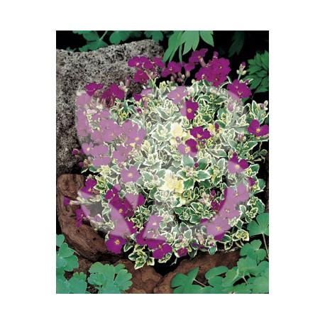 Aubrieta variegata red