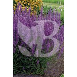 Lythrum salicaria dropmore purple