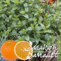 Menthe orange