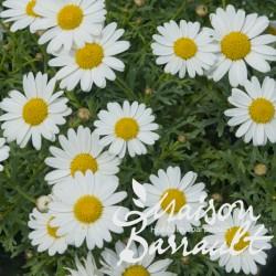 Anthemis simple blanc