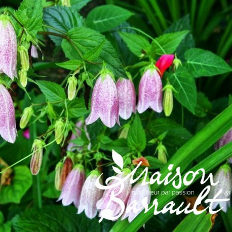 Campanula punctata rubriflora