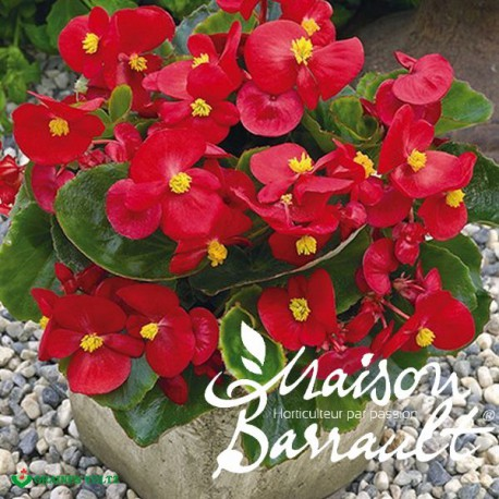 Begonia rouge feuillage vert