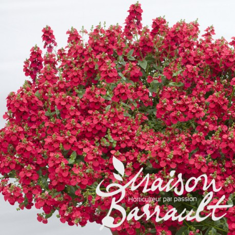 Diascia barbarea rouge