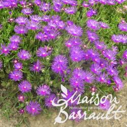 Ficoide violet