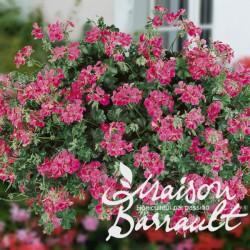 Geranium lierre blizzard rose