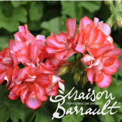 Geranium lierre double bicolore