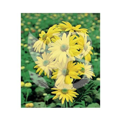 Chrysanthemum hybride reagan elite