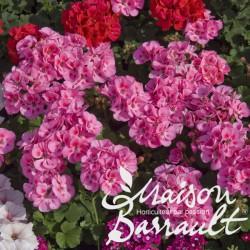Geranium zonal rose