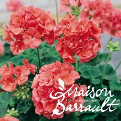 Geranium zonal saumon