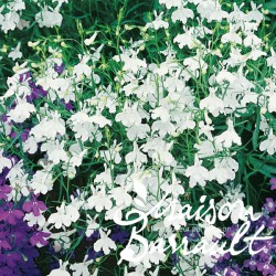 Lobelia blanc
