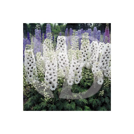 Delphinium hybride giant pacific percival