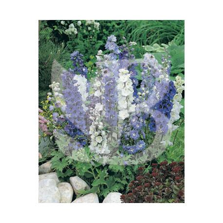 Delphinium hybride magic fountain