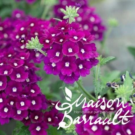 Verveine cascade violette à oeil