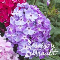 Phlox paniculata adessa ® purple star