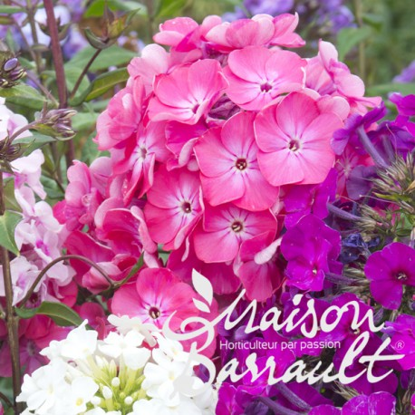 Phlox paniculata adessa ® rose eye