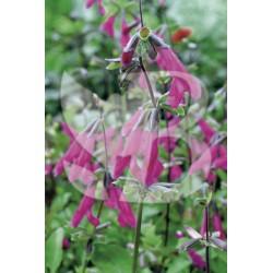 Salvia buchananii