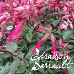 Salvia wendy's wish rose vif