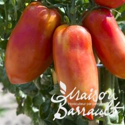 Tomate greffée 'Andine Cornue'