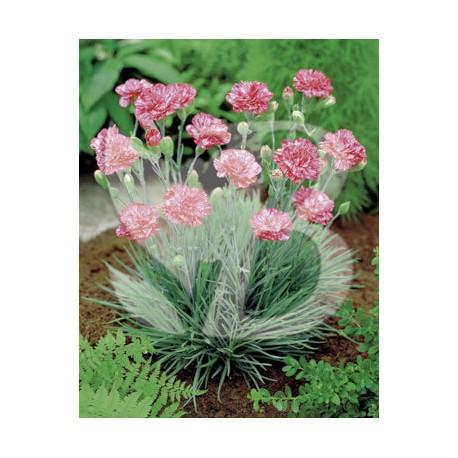 Dianthus plumarius haytor rock