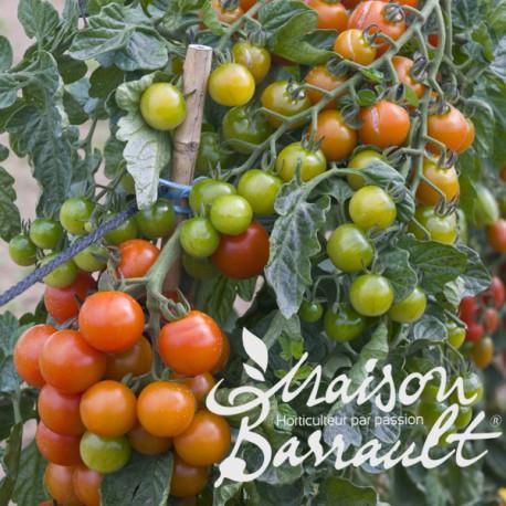 Tomate greffée cerise 'Super Sweet 100'