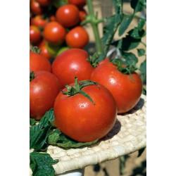 Tomate greffée 'Pyros'