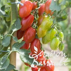 Tomate greffée 'Trilly'