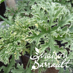 Geranium odorant lady plymouth
